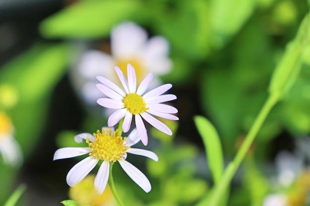 Flor diasy em tropical