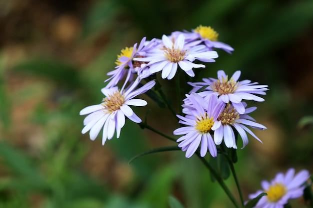Flor diasy na natureza