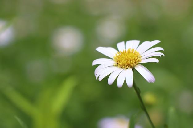 Flor diasy no jardim