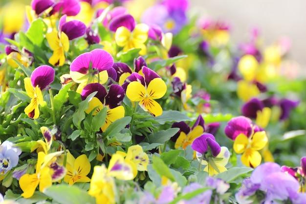 Flor do amor perfeito no jardim.