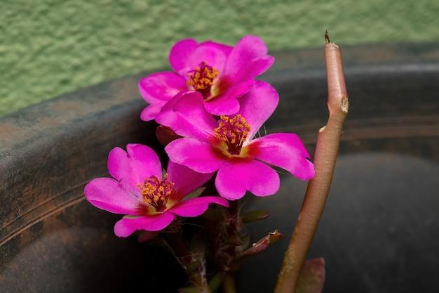 Flor do beldroega paraguaia da espécie portulaca amilis Foto Premium
