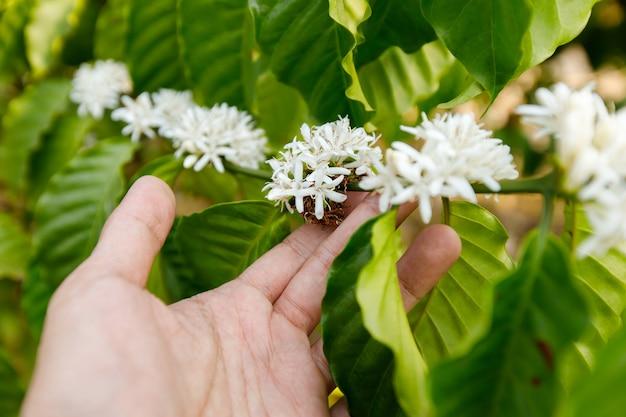 Flor do café que floresce na árvore.