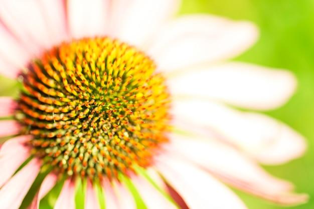 Flor do cone do close up, echinacea.