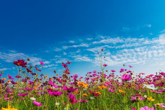 Flor do cosmos com céu azul e as nuvens brancas.