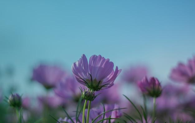 Flor do cosmos que floresce belamente para o fundo.