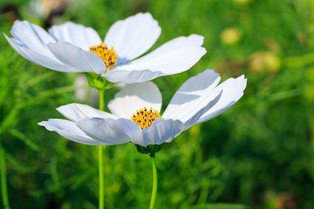 Flor do cosmos