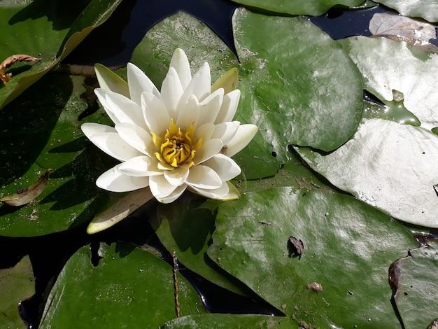 Flor do lírio de água em um dia ensolarado sobre um lago.