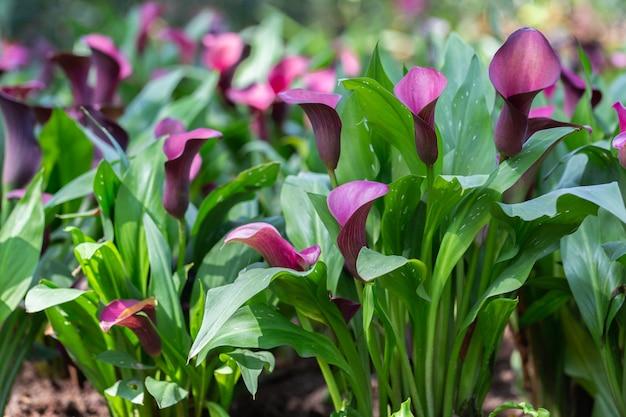 Flor do lírio de calla no jardim no dia ensolarado do verão ou de mola.