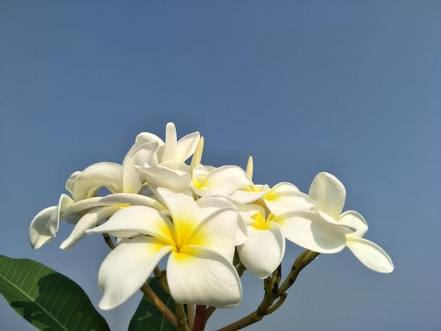 Flor do plumeria no fundo do céu.