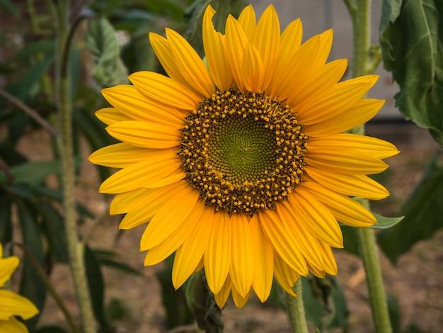 Flor do sol closeup