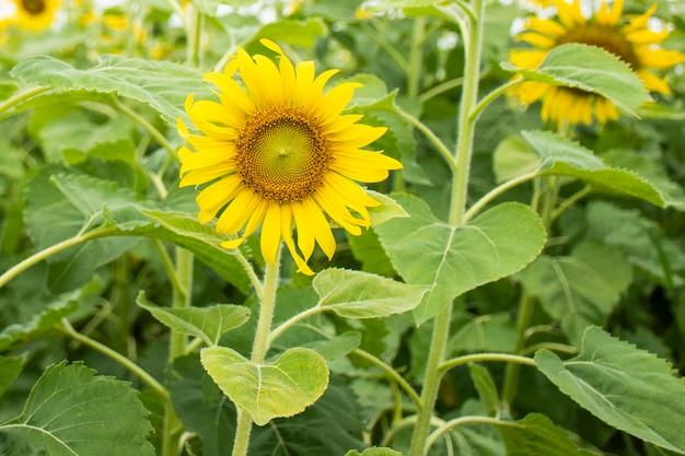 Flor do sol no campo de girassol