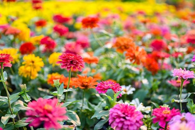 Flor do zinnia ou plantas do violacea do zinnia do tribo do girassol dentro da família da margarida.