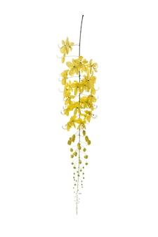 Flor dourada do chuveiro, isolado da fístula da cássia no branco. flor amarela.