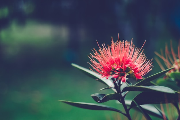 Flor dourada vermelha do penda (chrysanthus de xanthostemon).