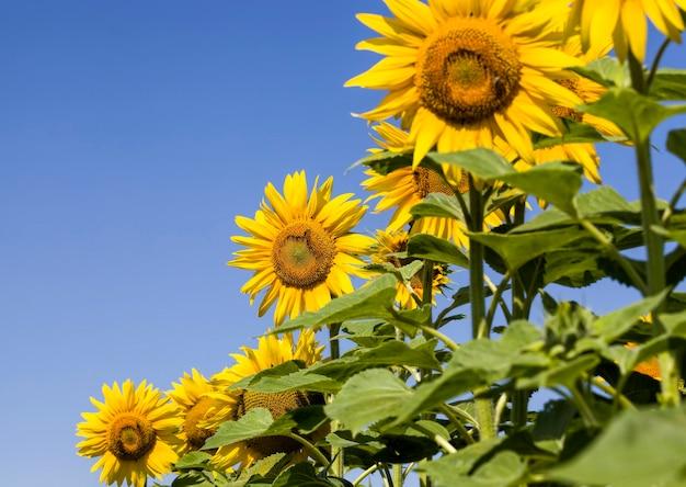 Flor em grupo de lindo girassol amarelo anual no campo, cultivando sementes oleaginosas na europa