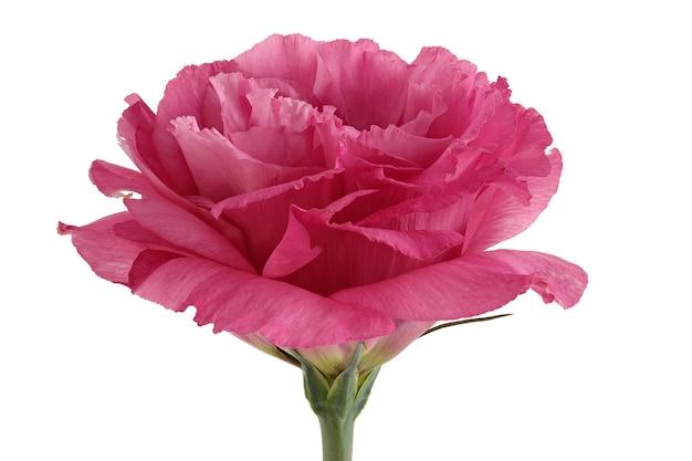 Flor eustoma isolada