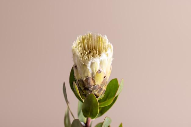 Flor exótica protea e sombra em fundo bege close-up pôster conceito mínimo de planta floral