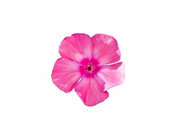 Flor flox rosa única isolada em um fundo branco. flox de flor em florescimento, close-up.