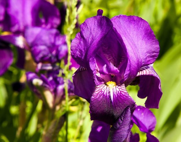 Flor fotografada em close de iris roxa