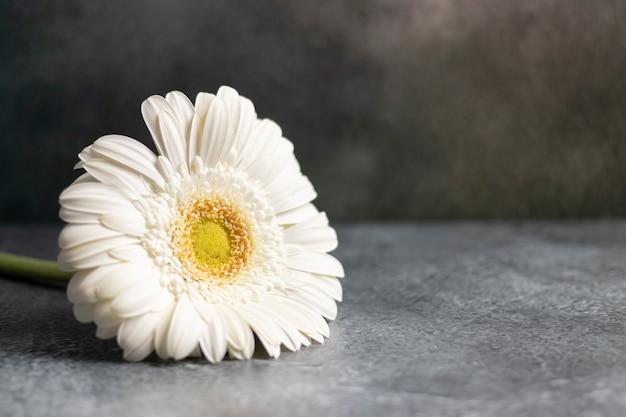Flor gerbera branca sobre fundo marmorizado cinza escuro