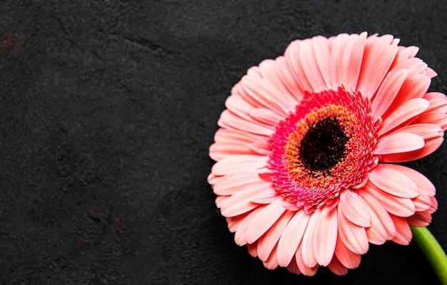 Flor gerbera brilhante em fundo preto