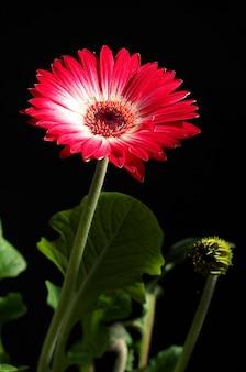Flor gerbera close-up em fundo preto