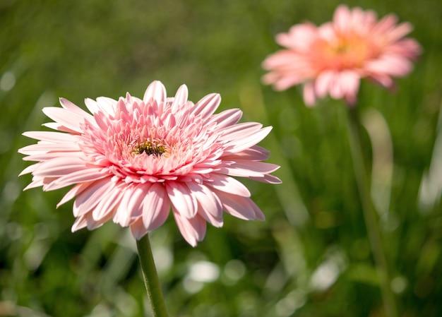 Flor gerbera em um jardim