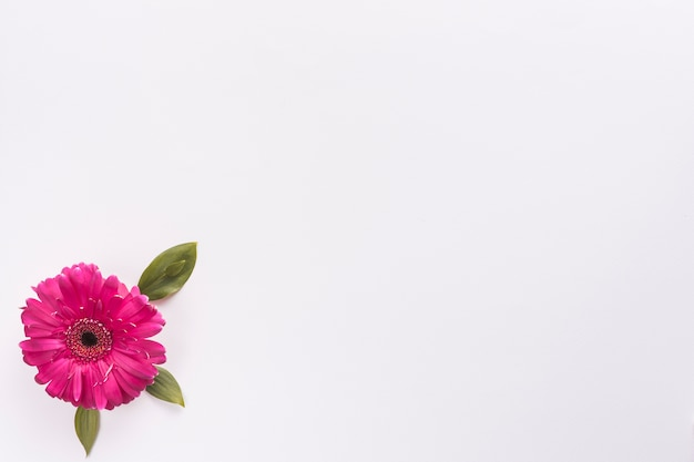Flor gerbera na mesa branca