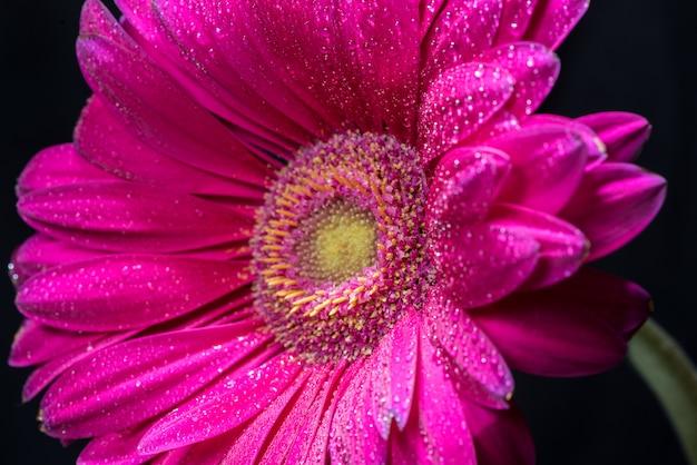 Flor gerbera rosa com gotas de água no fundo preto close-up