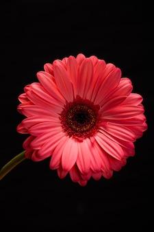 Flor gerbera rosa isolada em fundo preto