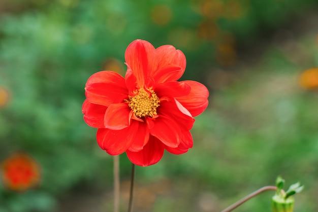 Flor laranja dália no jardim de verão