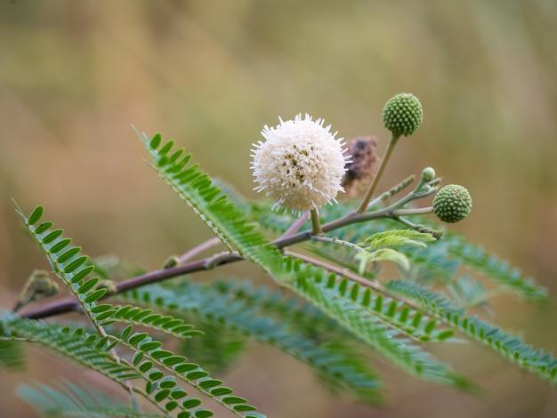Flor leucaena leucocephala