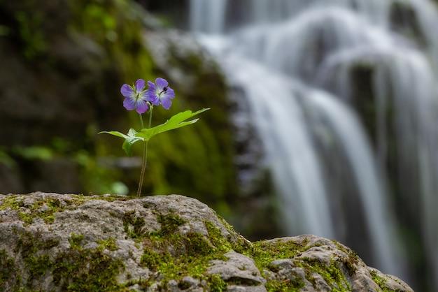 Flor lilás, crescendo sozinha nas rochas