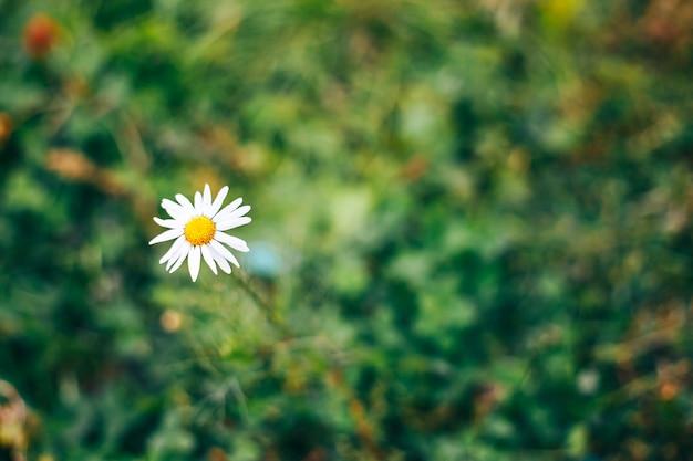 Flor linda daisy em fundo natural verde primavera