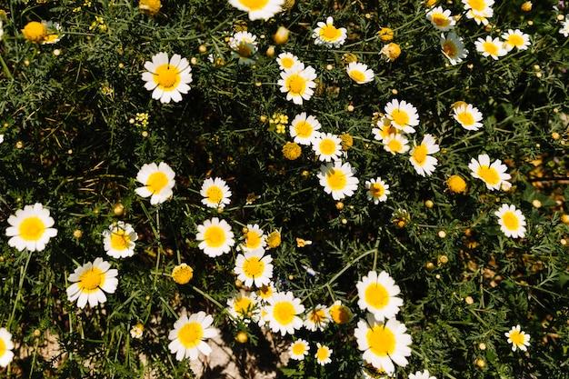 Flor linda margarida branca em flor