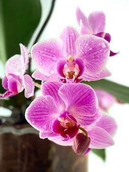 Flor linda orquídea tropical no pote.
