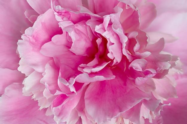 Flor macro fotografada de paeonia lactiflora