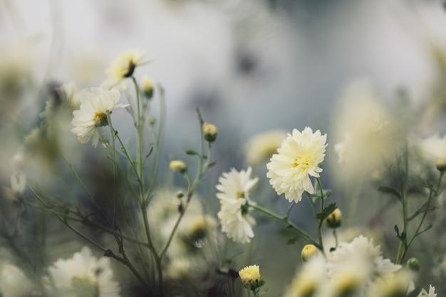 Flor margarida branca na natureza