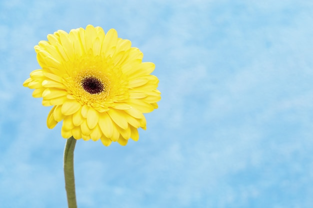 Flor natural do gerbera amarelo sobre fundo azul, com espaço de cópia para o seu texto. brilhantes pétalas suaves de flor. cartão de felicitações para a primavera ou feriados. foco seletivo.