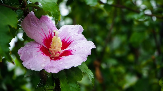 Flor natural, folhas verdes e gotas de orvalho. oferece um conceito refrescante.