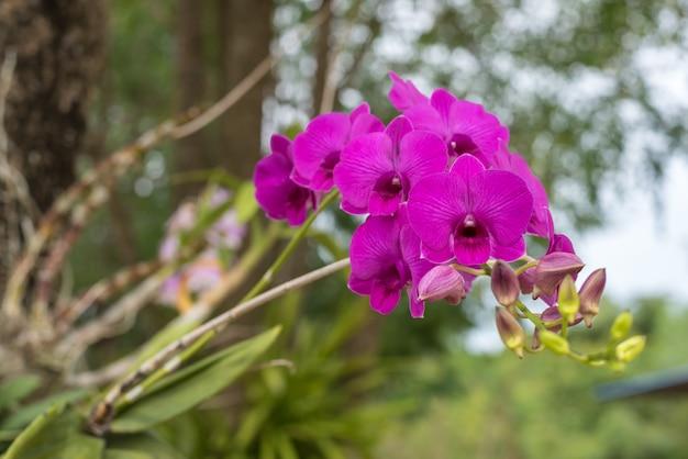 Flor (orchidaceae, flor de orquídea) rosa roxo