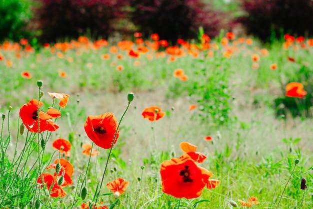 Flor papoula, florescendo, fundo