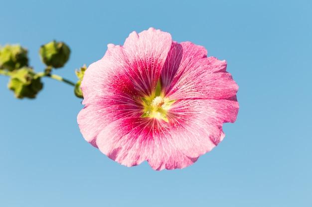 Flor papoula rosa close-up no céu azul