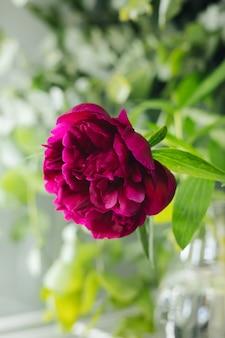 Flor peônia vermelha