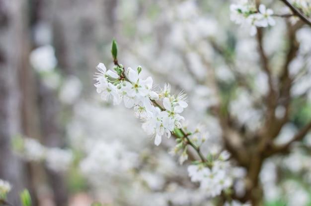 Flor pequena bonita e bonita da ameixa branca.