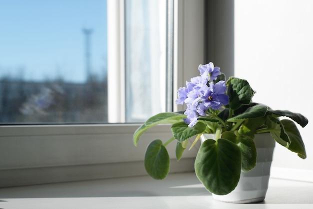 Flor pequena caseira em uma panela de pé no parapeito da janela perto da janela, close-up. violeta linda