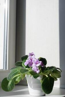 Flor pequena caseira em uma panela dentro de casa no parapeito de uma janela, close-up. linda violeta. foto vertical