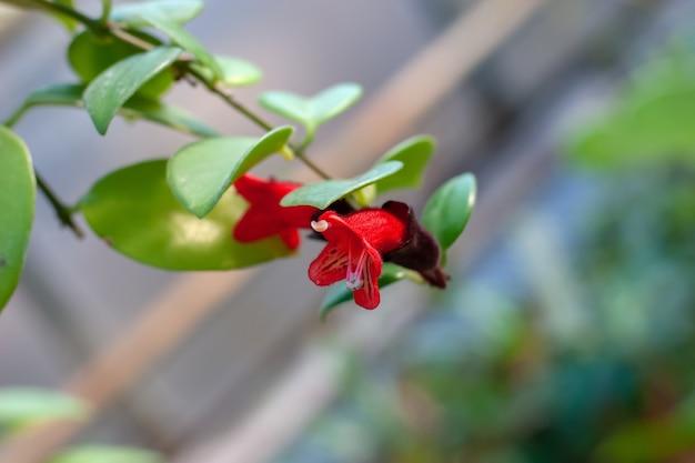 Flor pequena em forma de sino vermelha com folhas verdes. os estames sobressaem. foco seletivo na flor, o fundo é desfocado.