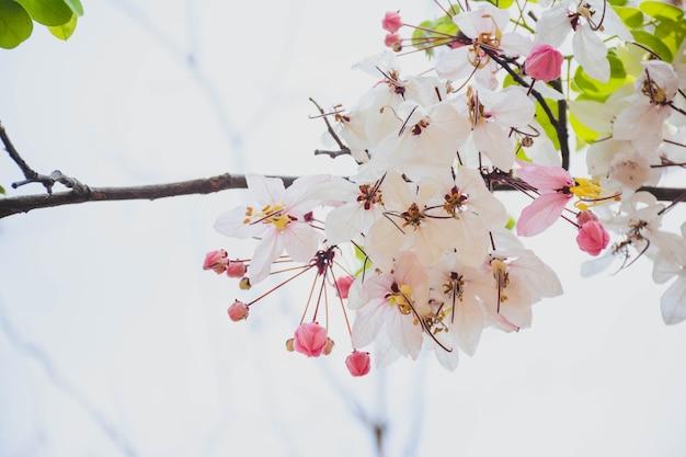 Flor phaya sua, prunus cerasoides, prunus cerasoides em terras tailandesas