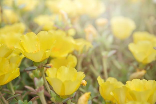 Flor portulaca, com, cor-de-rosa, roxo vermelho, e, amarela, florescer, em, jardim, quando, sol manhã